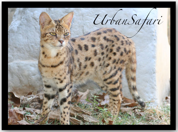 Savannah Cat Breed Information :: Urban Safari Cattery