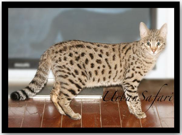 Savannah Cat Care & FAQ :: Urban Safari Cattery