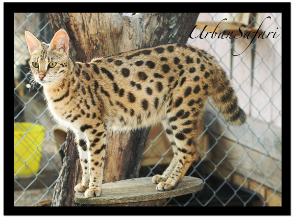 Savannah Cats | Urban ... Jay Z