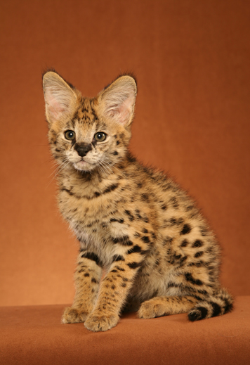 Savannah & Bengal Cats and Kittens for sale - Urban Safari