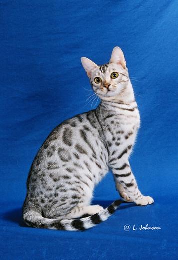 wild safari cats for sale