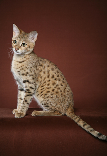 lps shorthair cat grey