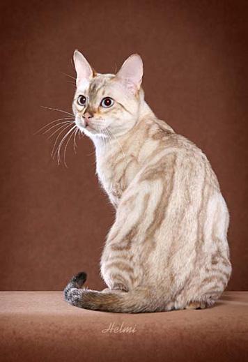 Bengal cat atlanta